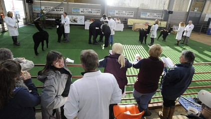Entries are judged during the Yorkshire Alpaca Show in Thirsk