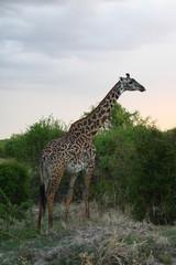 Giraffe in Africa Tansania