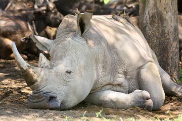 White rhinoceros in the shade