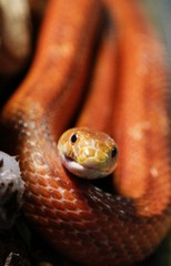 A Red Rat snake or the Corn snake is seen in a new terrarium of the Royev Ruchey zoo in a suburb of Russia's Siberian city of Krasnoyarsk