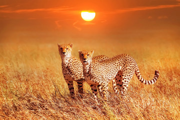Two cheetahs in the Serengeti National Park. Synchronous position .