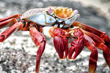 Sally Lightfoot Crab, Galapagos Islands