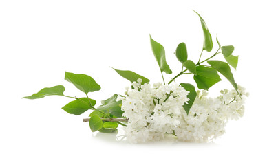 Foto auf Leinwand Flieder Branch of lilac flowers on white background