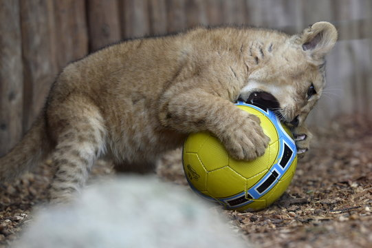 Ono of two fourteen-week old Barbary lions (Panthera leo leo), a male named Ramzes and a female named Zara, plays with a ball after a name ceremony at the Bojnice Zoo