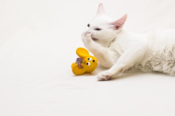 Gato branco com pata na boca ao lado de um rato de brinquedo.