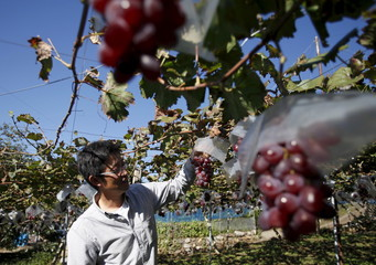 Furuya, a third generation fruit farmer, stands near grape trees at a fruits farm in Fuefuki