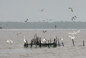 Birds perch on a fish trap offshore Curuca at the mouth of the Amazon River