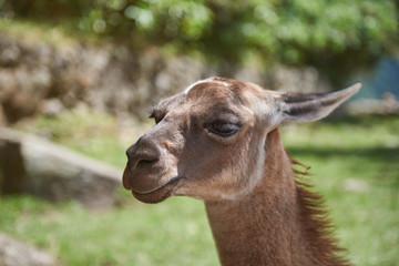 Portrait of lama animal