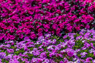 Fuschia and Purple Flower Bed