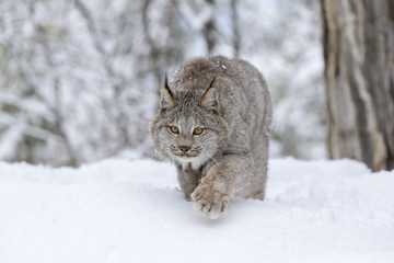 Wall Murals Lynx Bobcat In The Snow