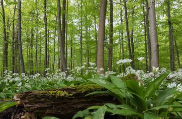 Buchenwald mit Bärlauchblüte in einem Norddeutschen Mittelgebirge im Frühjahr