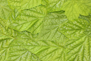 Background of green leaves. Pattern of currant leaves.