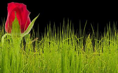 bouton de rose rouge dans les herbes, fond noir
