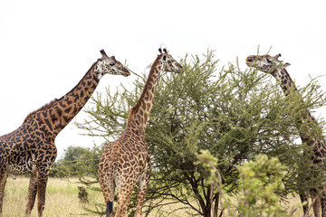 Giraffe in the Wild. Giraffes and other wildlife animals together affections in their grassland habit wilderness reserve terrain.