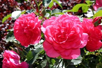 красивый красная роза в саду на размытом фоне