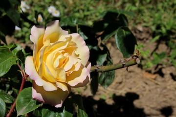 красивый желтая роза в саду на размытом фоне