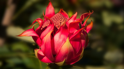 Wild Waratah bud in Australian native environment