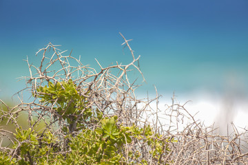 Coastal Spike/Surf in the background through the thorns of a prickle African Boxthorn Bush, introduced as a hedge plant.