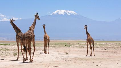 Giraffe con Kilimangiaro