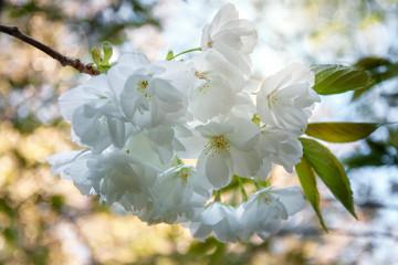 Backlit delicate white flowers on a dappled bokeh garden light background.