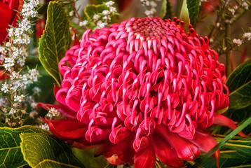 Impressive unusually large red Waratah bloom at the Waratah Festival in the Blue Mountains, Australia.
