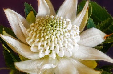 Resplendent but yet delicate white Waratah flower head at the Waratah Festival in the Blue Mountains