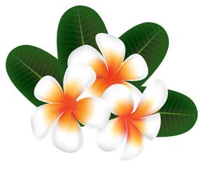 illustration vector of Hawaii flower Frangipani, white Plumeria