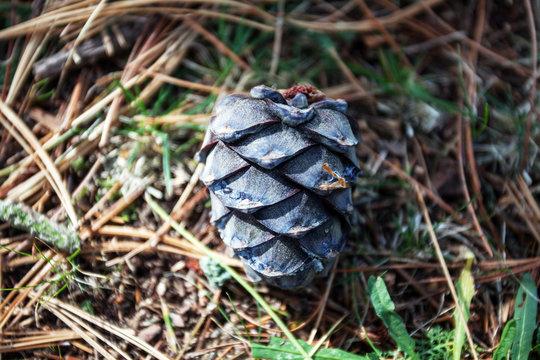 Cedar cone on the grass