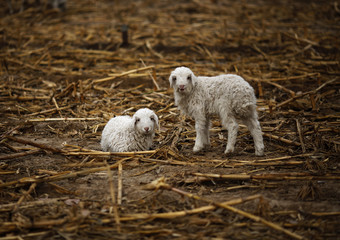 Lambs are seen in a corn field while a herdsman drives his sheep at Dashiwo village, outskirt of Beijing