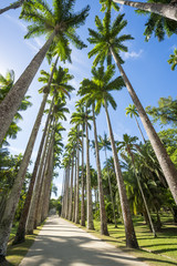 Dirt path lined with tall royal palm trees under bright blue sky