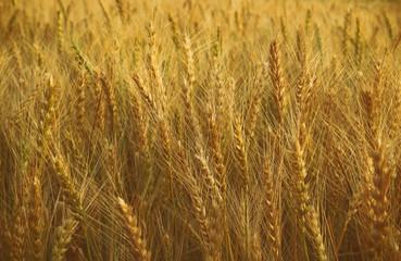 photo of wheat field at sunset
