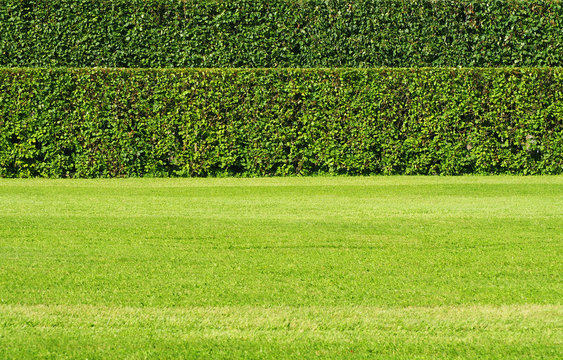 Trimmed shrub fence. Green hedge fence with green grass floor. Natural geometry, two-tier hedge, lawn. Parallel lines