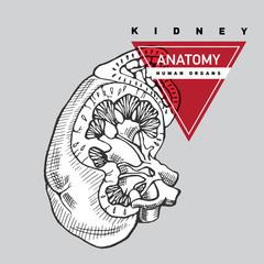Outline kidney illustration