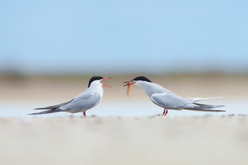 Common tern with fish being displayed