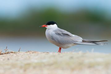 Common tern (Sterna hirundo) on Kinburn Spit, Ukraine