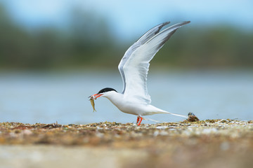 Common tern (Sterna hirundo) on Kinburn Spit, Ukraine