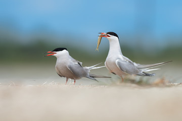 Couple of common terns in courtship display