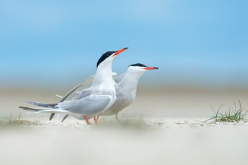 Pair of common terns in courtship display
