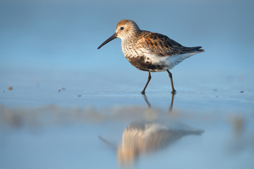 Dunlin (Calidris alpina) on Kinburn Spit, Ukraine