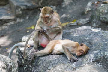 Mother monkey cleaning tail of her baby.