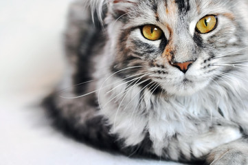 Beautiful silver tabby Maine Coon kitten girl with large golden eyes isolated on white background.