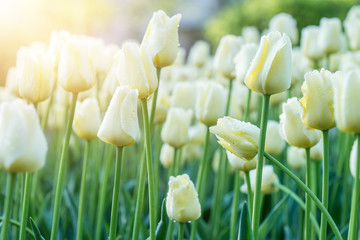 Obraz White tulips in sunny rays - fototapety do salonu