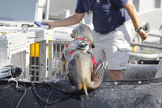 A sea lion with laser and sonar devices attached to its back jumps into a boat during a media demonstration of the International Mine Countermeasures Exercise (IMCMEX), at the U.S. Fifth Fleet naval base, part of U.S. Central Command HQ in Manama