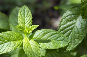 Mentha or mint (Mentha longifolia)