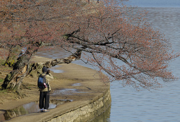 A man photographs cherry blossom buds that have yet to bloom around the Tidal Basin in Washington