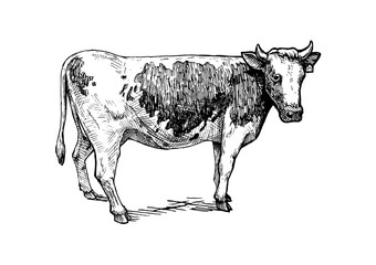 illustration of cattle