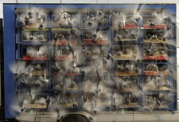 Racing pigeons are seen being released from their boxes as they start their flight from Alnwick to their home lofts across Yorkshire and Humberside in northern England