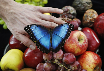 Photographer Alexander James  holds a living Morpho amathonte butterfly during a demonstration of his work at his studio in London