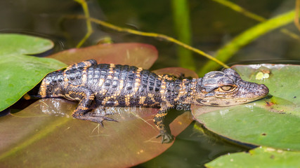 Baby Alligator, Everglades National Park, Florida