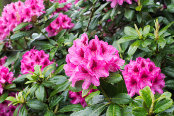 Pink flowers of Rhododendron bush.